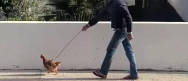 paseo-gallina